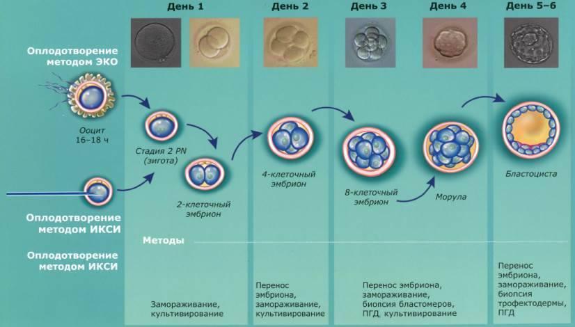 Пгд эмбриона при эко - что это значит?