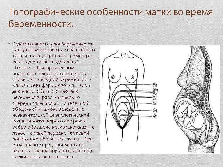 На каком сроке беременности увеличивается матка — твой гинеколог