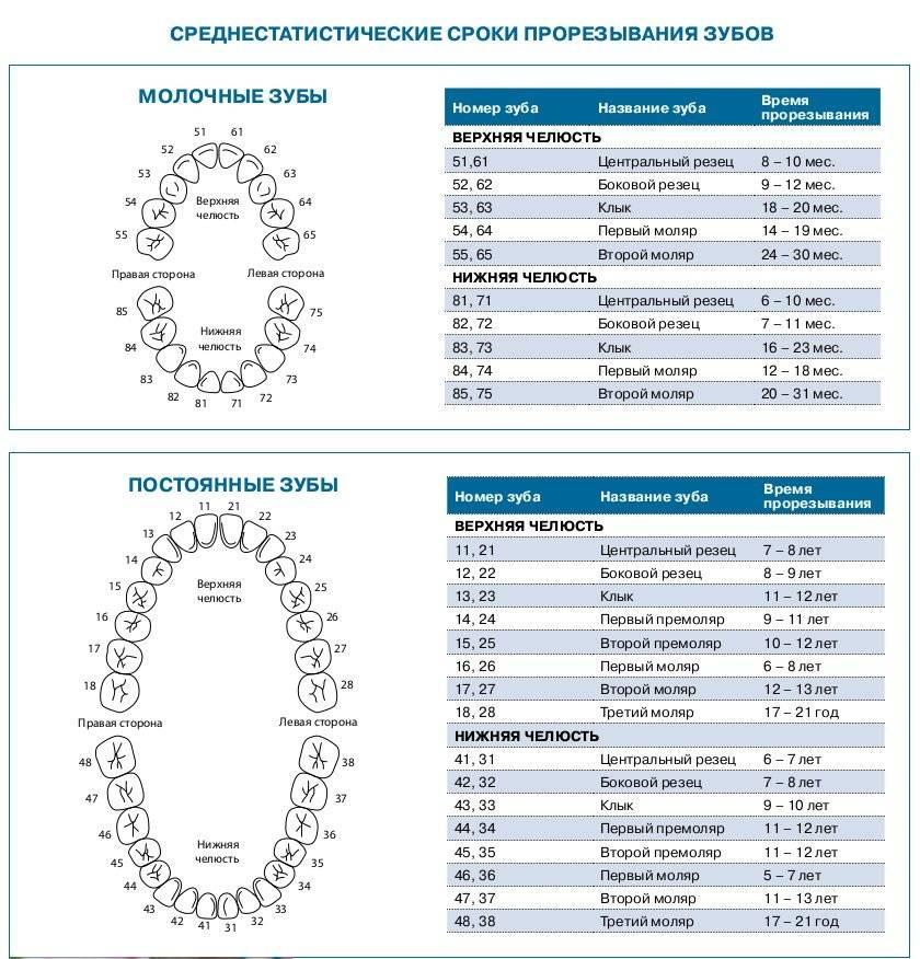 Схема прорезывания и выпадения зубов у детей: график роста, очередность и сроки появления молочных и постоянных зубов