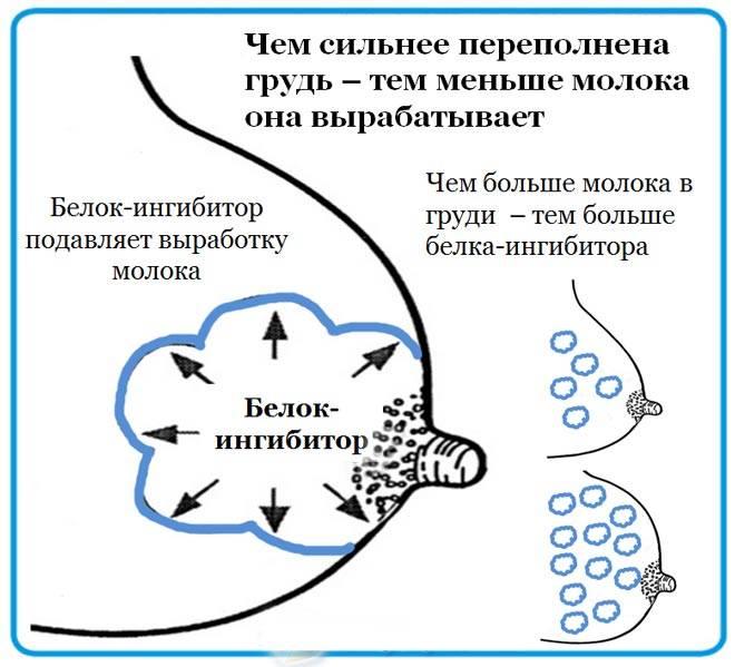Инволюция лактации