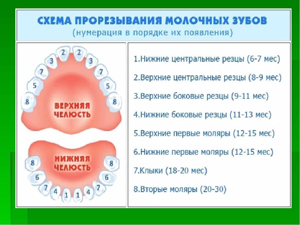 Порядок и сроки прорезывания временных и постоянных зубов. смена молочных зубов на постоянные у детей