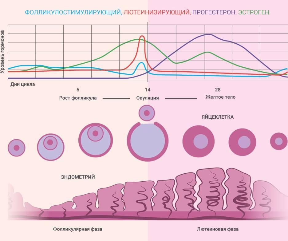 Сколько фолликулов должно быть в яичнике? их количество в норме по дням цикла для зачатия, как увеличить их число