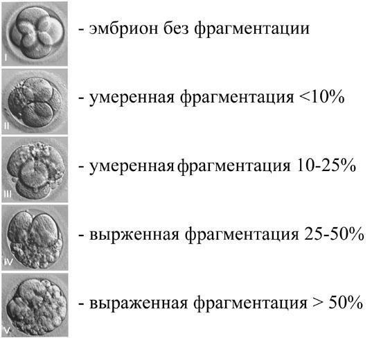 Классификация эмбрионов при эко: качество, культивация и их классы
