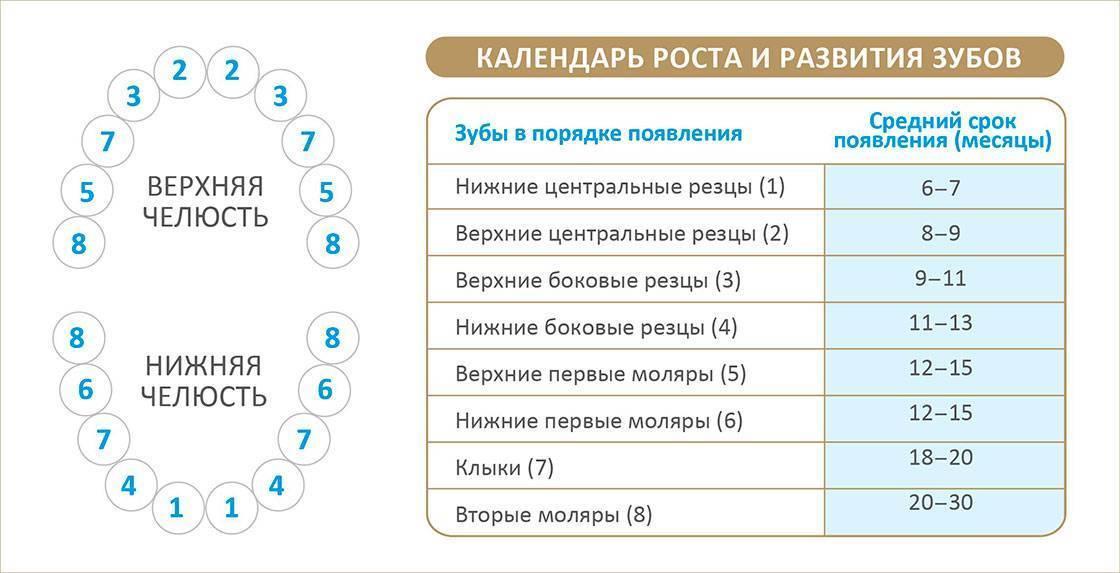 Сроки прорезывания молочных зубов у детей - таблица! - vzubkah.com