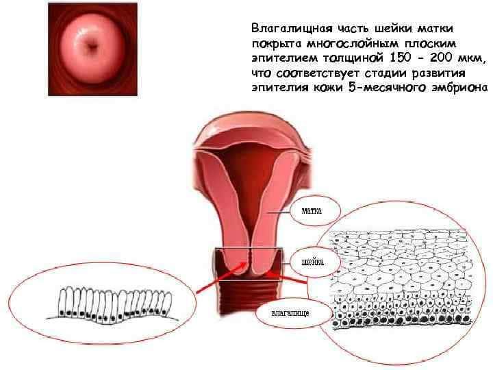 Какой должна быть шейка матки перед и во время месячных на ощупь, как выглядит, положение