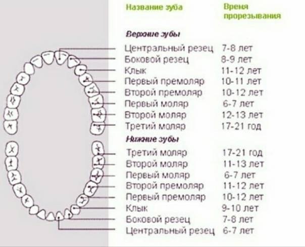 Молочные зубы у детей - когда начинают выпадать и меняться: схема и сроки   spacream.ru