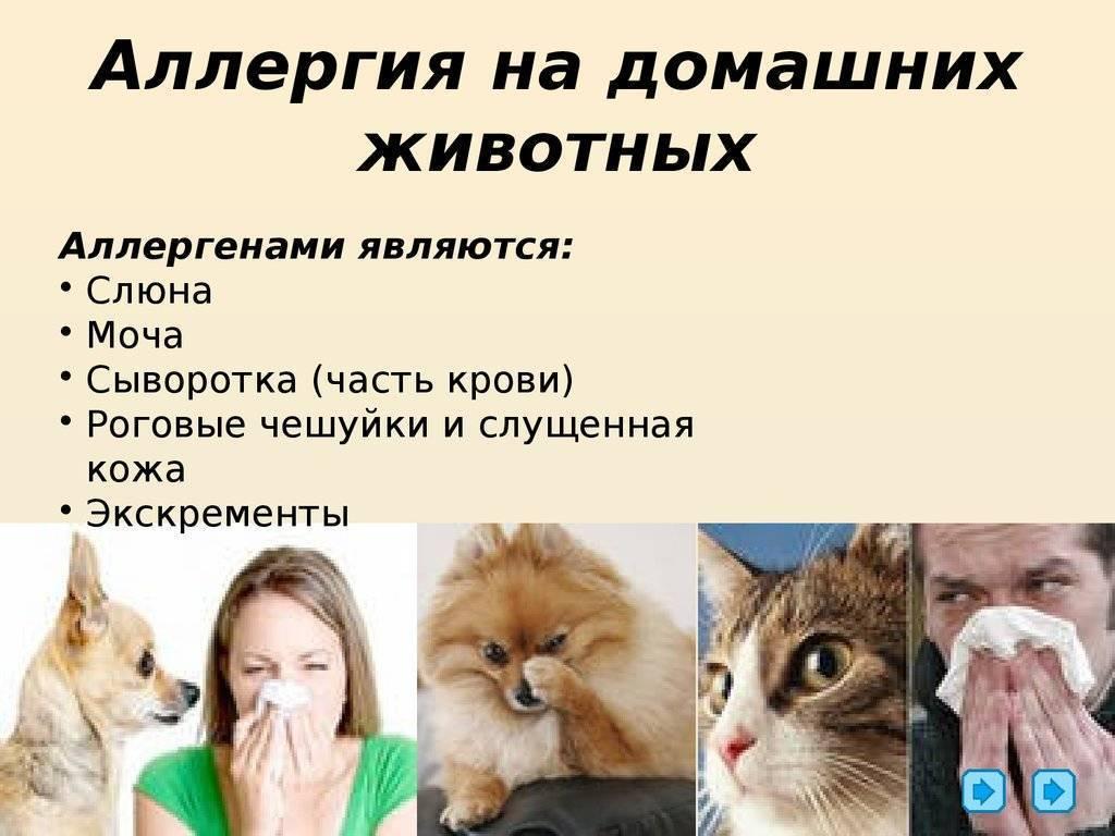 Аллергия на животных у взрослых симптомы • аллергия и аллергические реакции