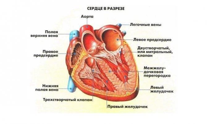 Почему образуется дополнительная хорда в сердце и чем она опасна