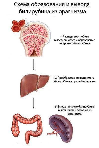 Норма и предел билирубина в крови у новорожденных
