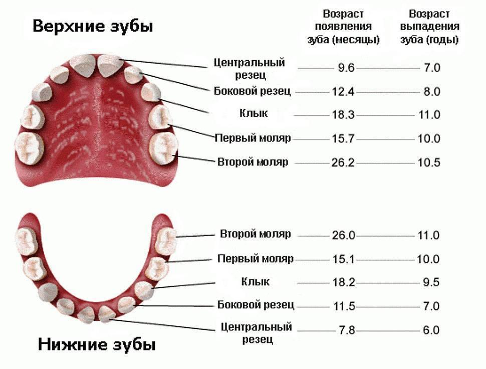 Молочные зубы: что это, в каком возрасте растут у детей, почему выпадают