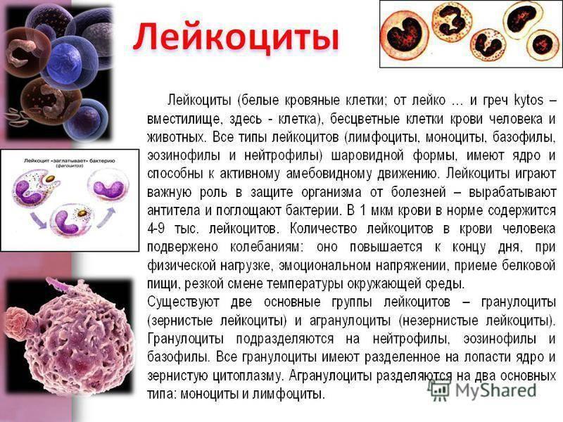 Лейкоциты в крови у ребенка повышены: что это значит и что делать