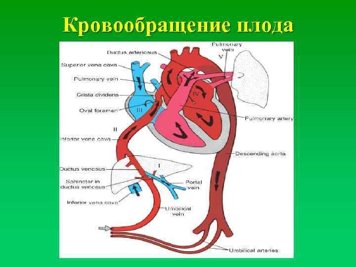 Кровоснабжение плода анатомия. особенности кровообращения у человеческого плода: анатомия, схема и описание гемодинамики