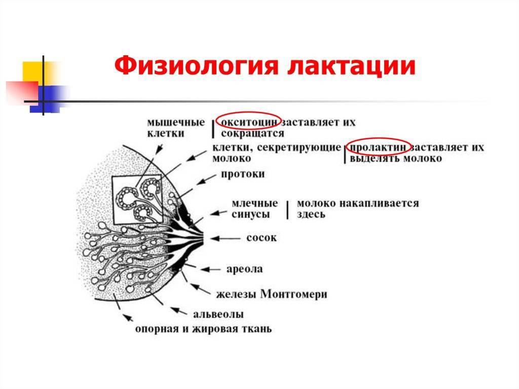 Процесс лактации у женщин