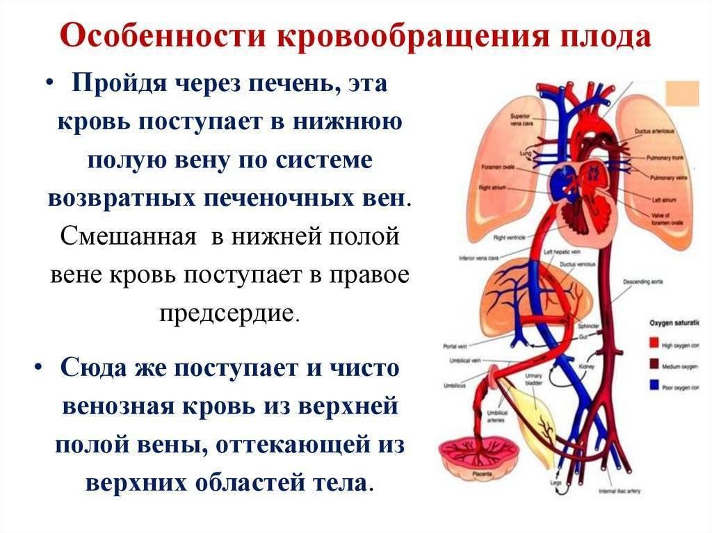 Кровообращение плода анатомия кратко. схема и особенности кровообращения плода