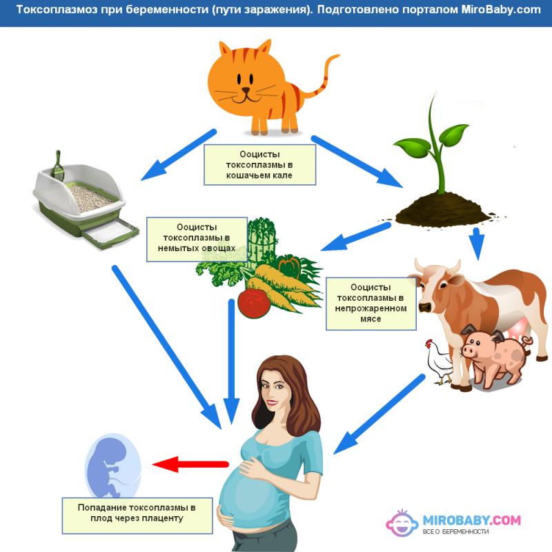 Токсоплазмоз при беременности: что такое, симптомы, анализы крови, лечение, последствия для плода, опасность