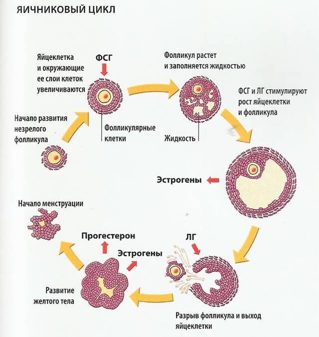 Норма количествафолликулов в яичниках у женщины репродуктивного возраста