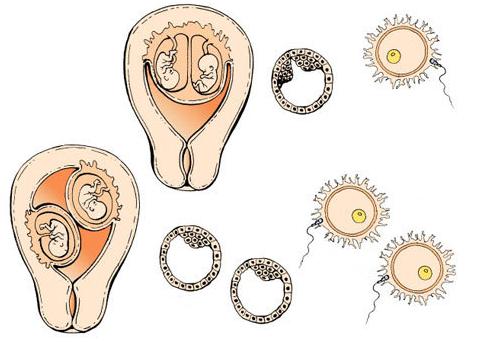 Развитие эмбриона по дням от зачатия при эко: когда происходит подсадка, как растет плод?