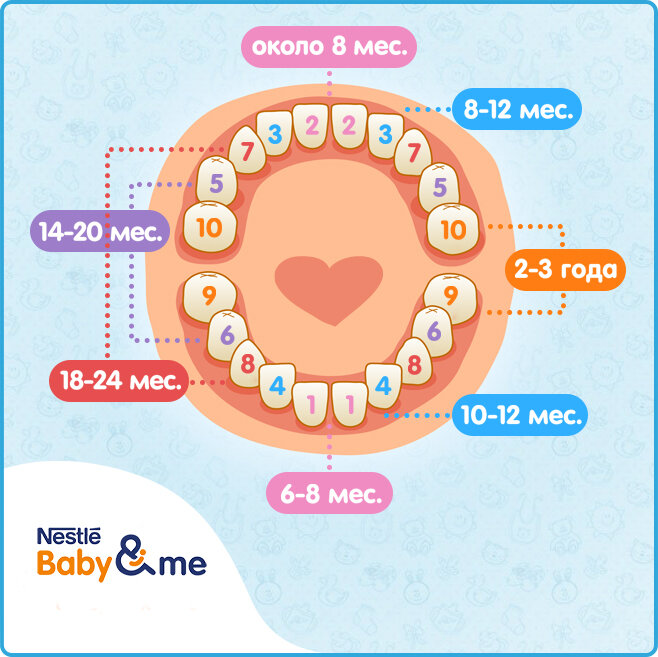 Порядок прорезывания зубов у детей: схема с фото