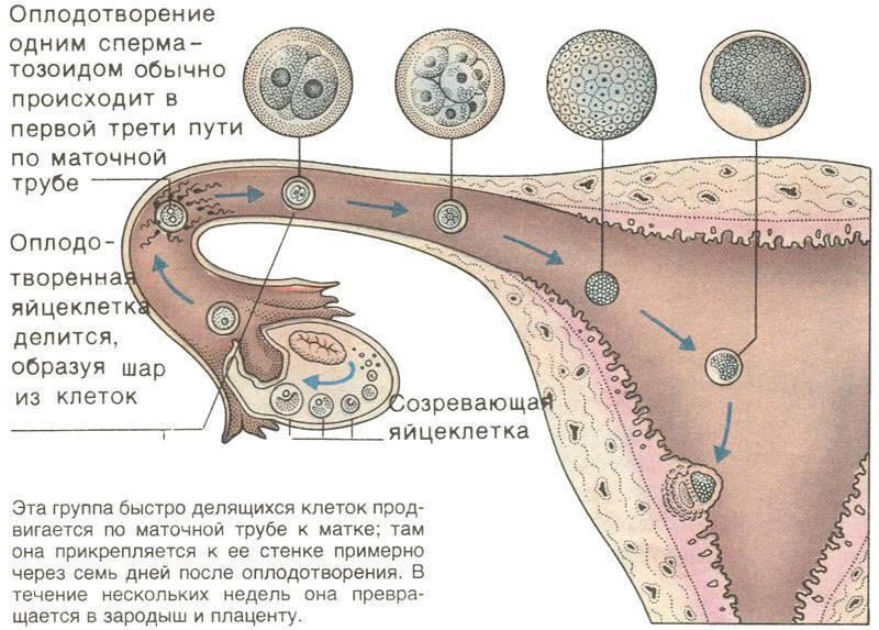 Имплантация эмбриона – признаки начинающейся беременности
