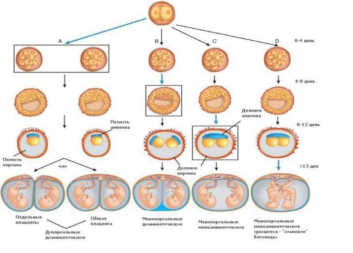 Как проходят естественные и оперативные роды двойней