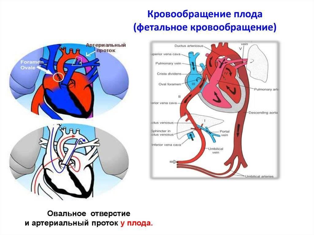 """Анатомия: особенности кровообращения плода. плацентарное кровообращение."""""""