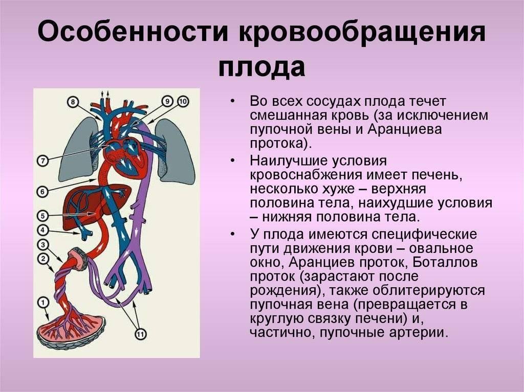 Кровообращение плода: особенности, анатомия и схема