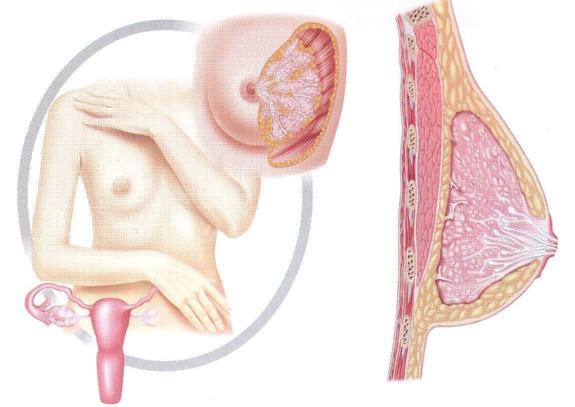 Как изменяются соски при беременности: излагаем развернуто