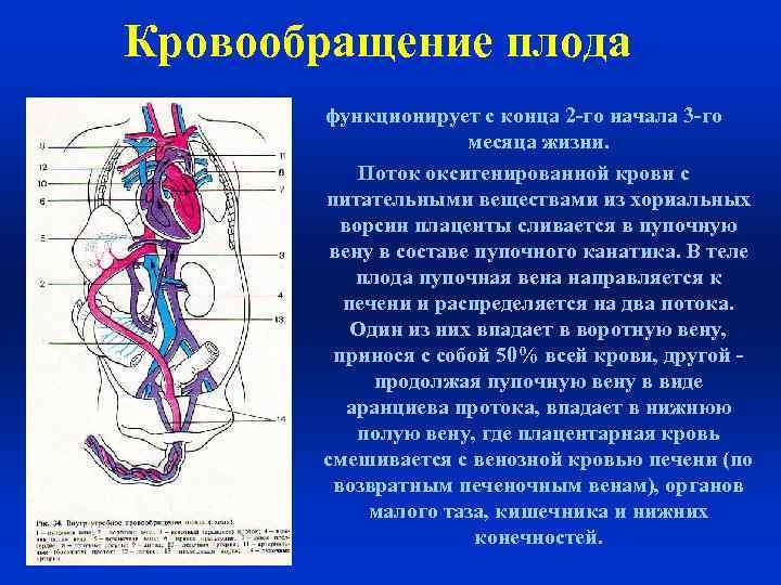 Особенности кровообращения у человеческого плода: анатомия, схема и описание гемодинамики. кровообращение плода особенности кровообращения плода