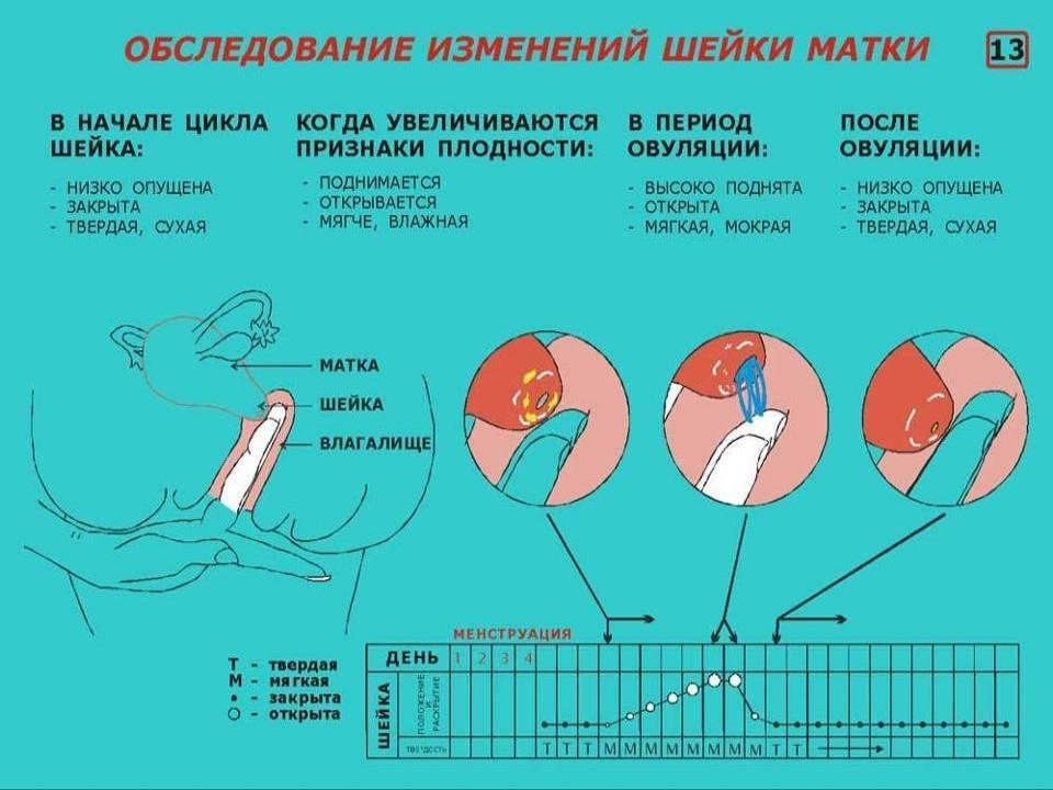 Шейка матки при беременности на ранних сроках (23 фото): как выглядит и какая должна быть в начале беременности