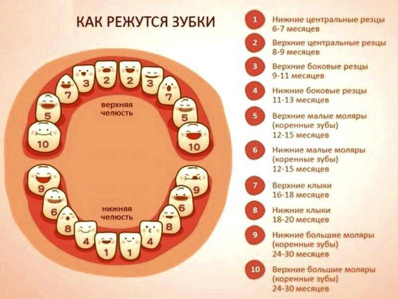 Сроки прорезывания молочных зубов у детей, таблица, график роста