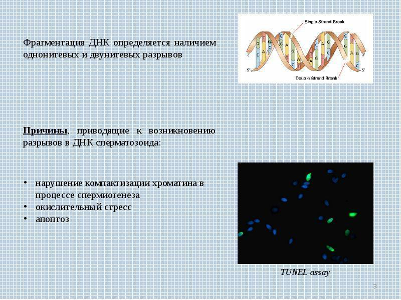 Исследование фрагментации днк в сперматозоидах, фрагментация днк сперматозоидов в москве - клиника «мать и дитя»