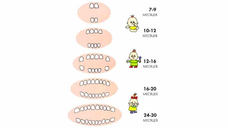 Сроки прорезывания зубов у детей: таблица появления молочных единиц, график и порядок роста | симптомы | vpolozhenii.com