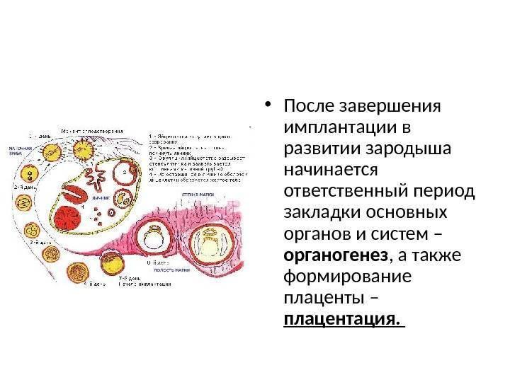 Имплантация плодного яйца - симптомы, признаки, на какой день происходит