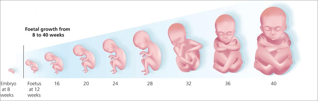 На какой неделе можно узнать пол ребенка при беременности? на каком месяце можно увидеть на узи половые органы и определить расположение плода в животе?