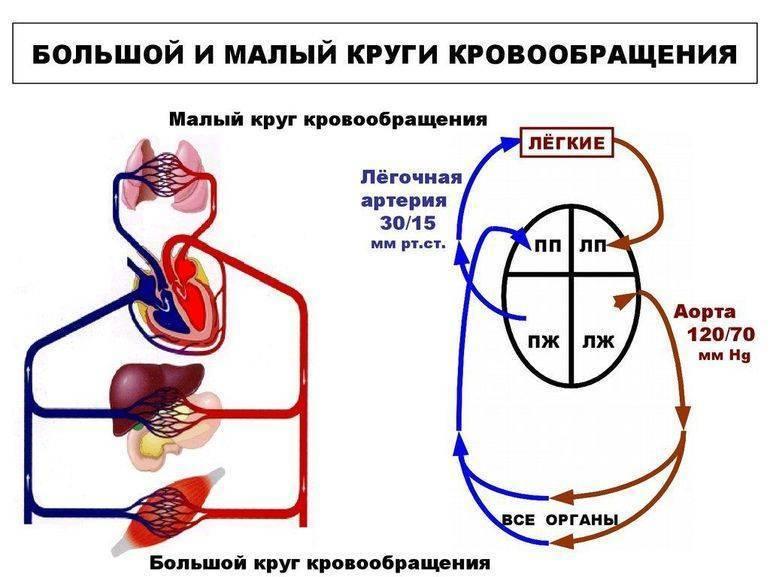 Кровообращение плода: особенности анатомии, схема и описание гемодинамики