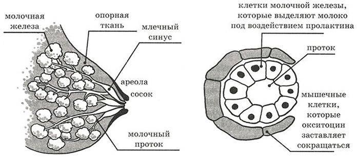 Основные этапы гв, период становление лактации