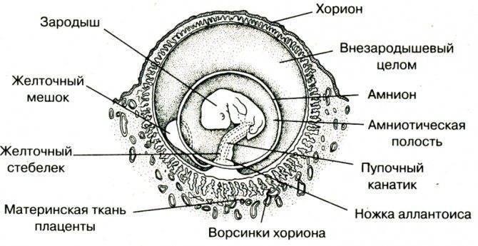 Имплантация эмбриона в матку: сроки, условия, признаки