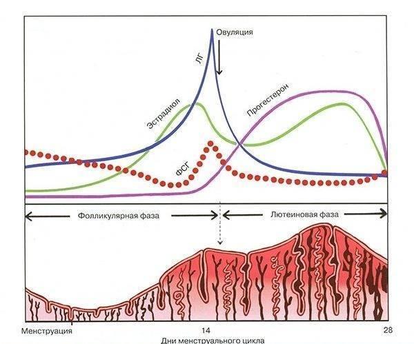 Повышенный прогестерон: анализ на прогестерон у женщин, симптомы, причины