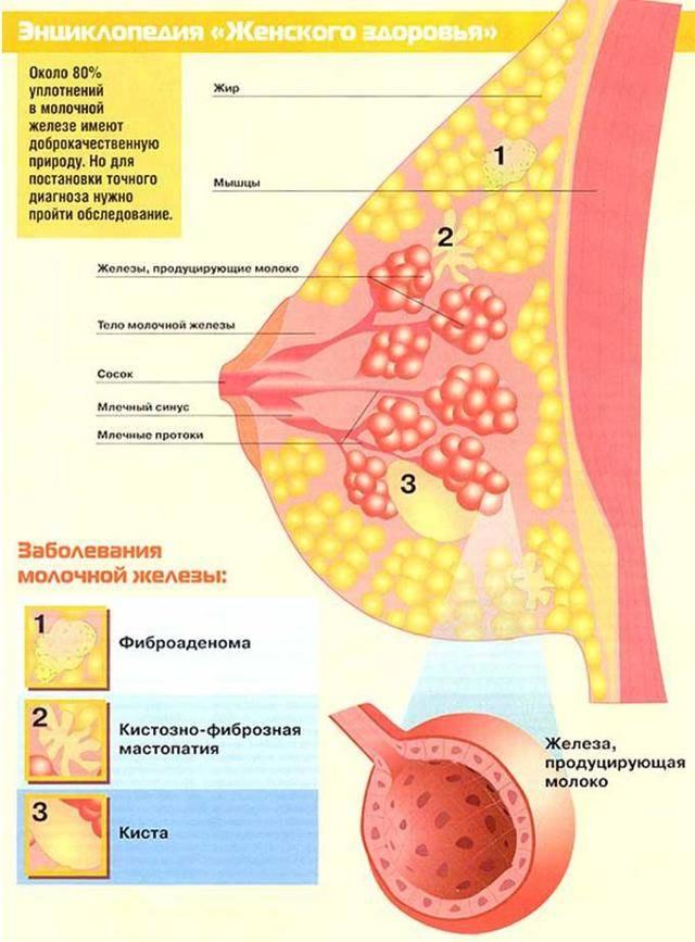 За сколько дней до месячных набухают и болят молочные железы