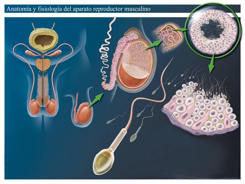 Влияет ли алкоголь на качество спермы и как?