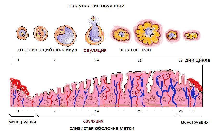 Могут ли быть месячные без овуляции - ovulyacia.ru