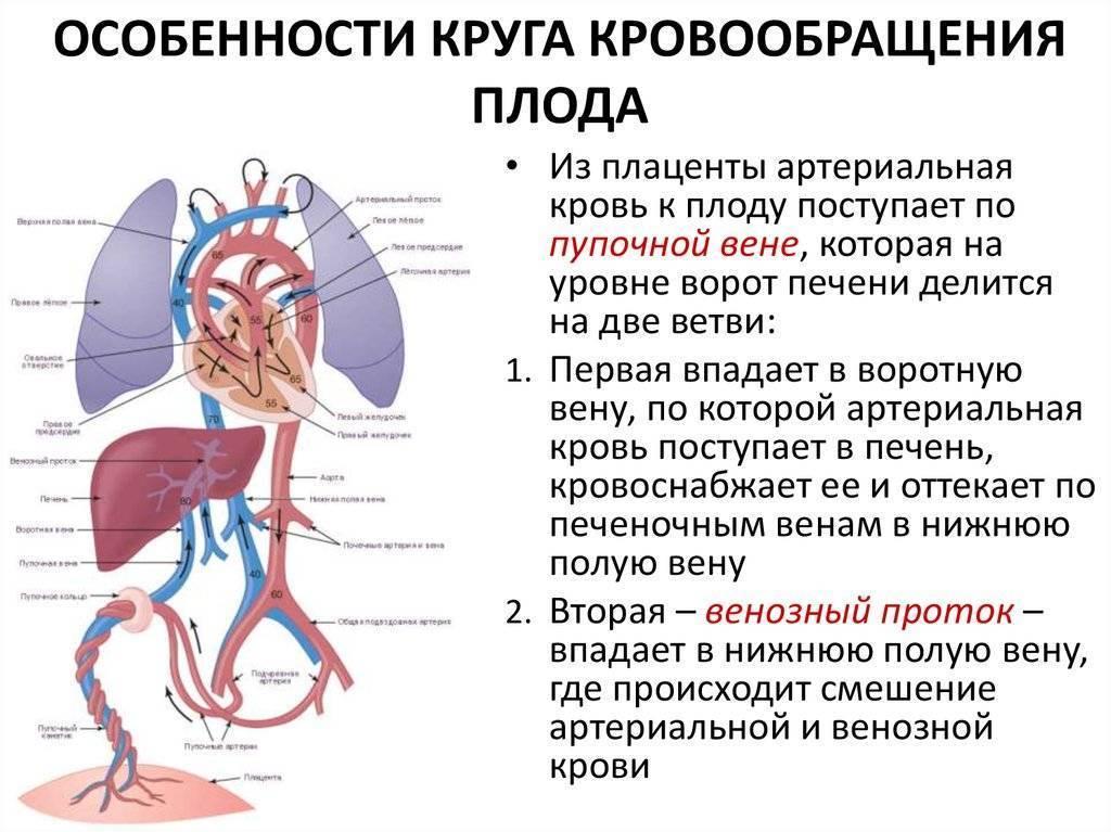 Особенности кровообращения у человеческого плода: анатомия, схема и описание гемодинамики. кровообращение плода и ее изменения после рождения особенности кровообращения у плода