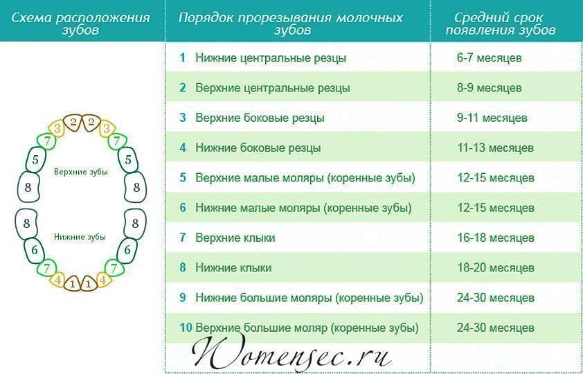 График-схема прорезывания молочных зубов у детей