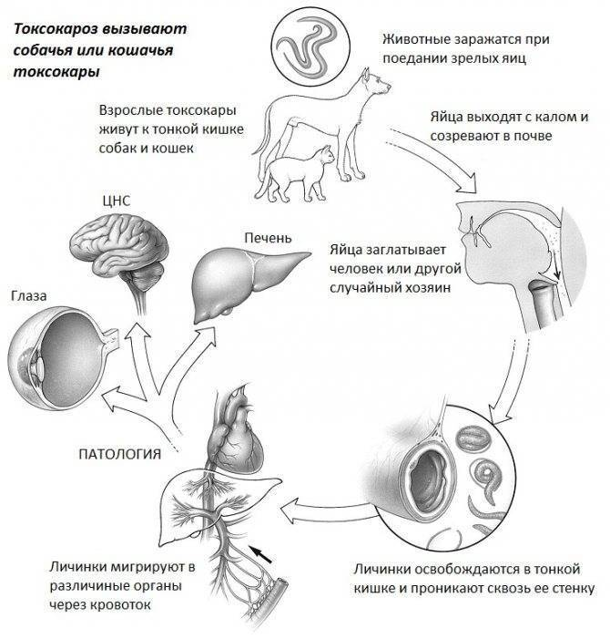 Токсокароз у детей: симптомы и лечение, причины появления токсокар в организме   заболевания   vpolozhenii.com