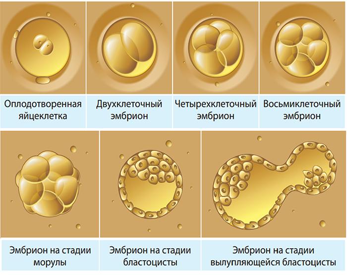 Могут ли эмбрионы выпасть из матки после подсадки