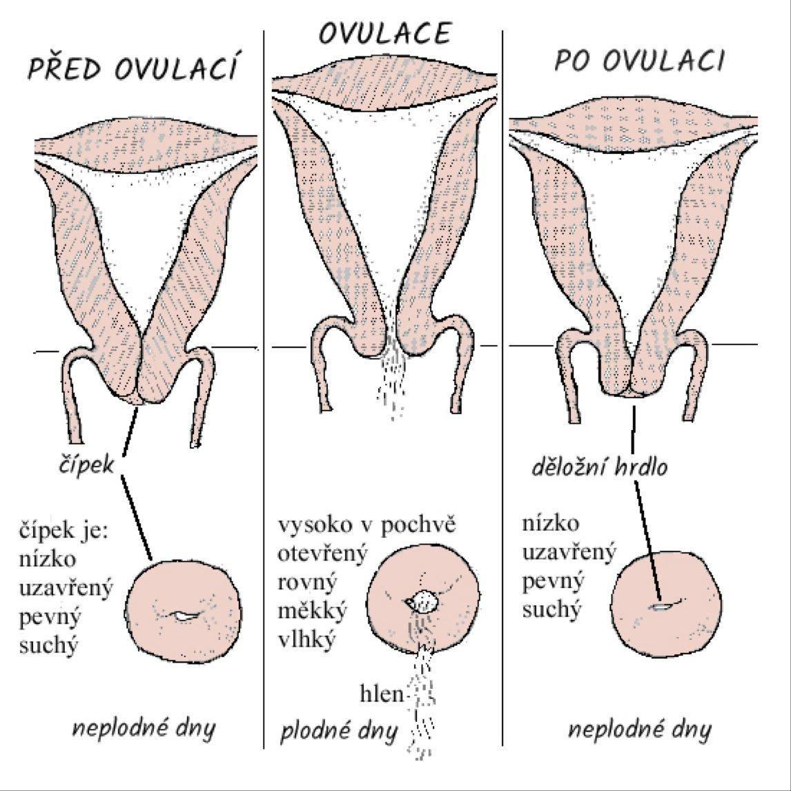 Шейка матки перед месячными: состояние, пальцевая диагностика