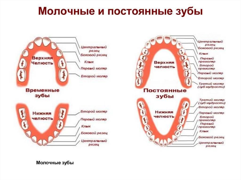 Какие зубы молочные? какие коренные зубы еще молочные, а какие уже постоянные: симптомы и признаки у детей разных возрастов