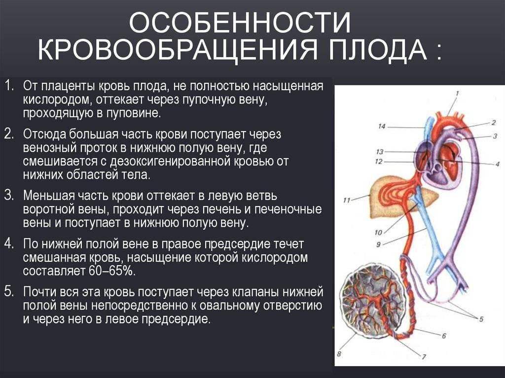 Кровообращение плода: схема и описание, анатомия, особенности, нарушения - нет заразе