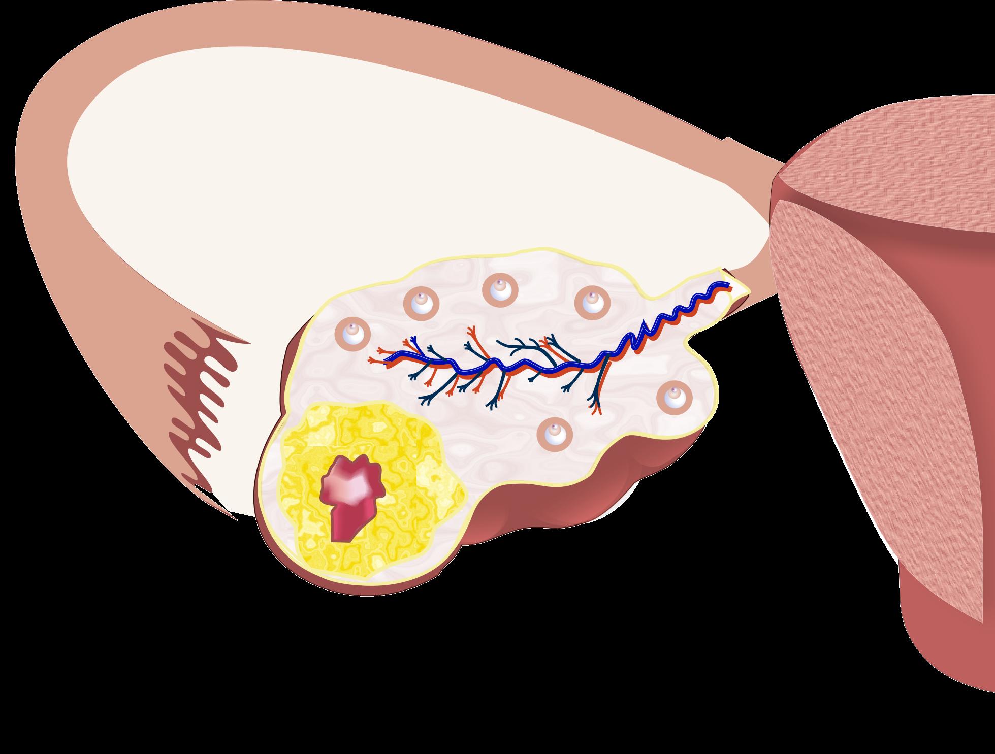 Персистенция желтого тела: ???? популярные вопросы про беременность и ответы на них