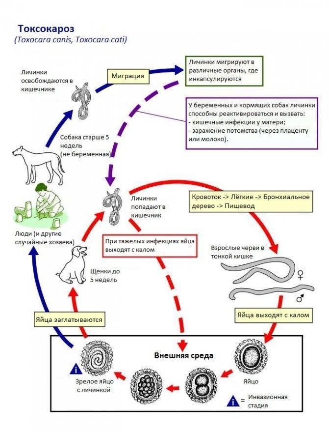 Токсокароз: симптомы, лечение, анализ на токсокароз у детей и взрослых, профилактика
